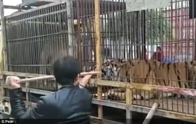 Những người có mặt tại hiện trường đã nhanh chóng dùng gậy đánh vào con hổ để buộc nó phải nhả bàn tay người đàn ông ra.