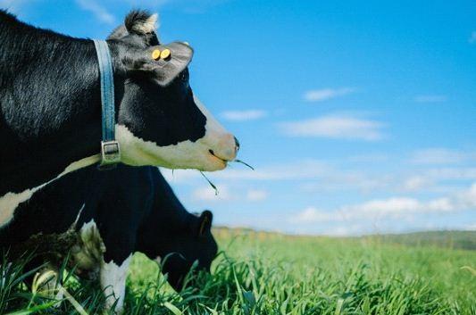 Bò sữa Organic từ trang trại Vinamilk được chăn thả trên đồng cỏ bạt ngàn