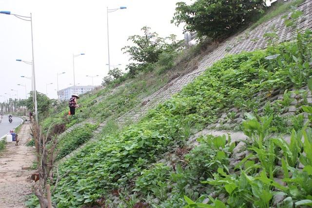 Vườn rau độc đáo dài khoảng 2km, xanh mướt được người dân trồng ngay trong những hốc bê tông bên đường vành đai 2, đoạn qua dốc Bưởi (Hà Nội).