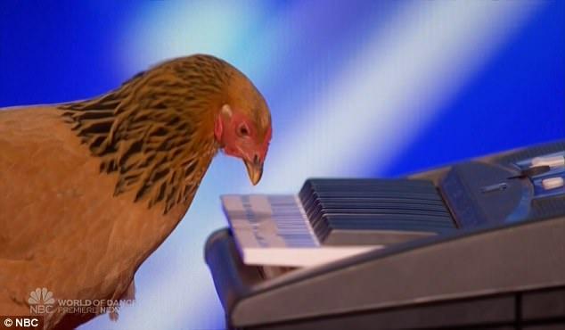 Giám khảo kinh ngạc khi biết chú gà sẽ là nhân vật chính của màn biểu diễn tài năng.