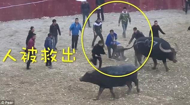 Người đàn ông may mắn thoát nạn mà không gặp phải vết thương nào đáng kể, hai con trâu chọi cũng bị tách ra để tạm thời ngừng cuộc đấu.