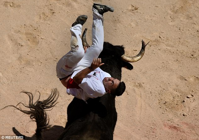 """Một màn trình diễn của người cưỡi bò. Người cưỡi bò không giống như người đấu bò, nhiệm vụ của anh ta là tránh được những cú húc của bò tót, đồng thời dùng tài """"lắt léo"""" và sự nhanh nhẹn của mình để cưỡi lên lưng bò, nhảy qua nhảy lại, khiến con bò thêm… """"hăng tiết""""."""
