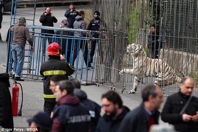 May mắn, chú hổ trắng sổng chuồng ở trong tâm trạng khá bình thản và không bị kích động trong suốt cuộc khống chế đưa chú trở về rạp xiếc.