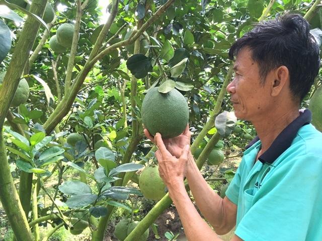 Ông Nám thu tiền tỷ từ bưởi da xanh và sẵn sàng hướng dẫn kỹ thuật để cùng nông dân làm giàu