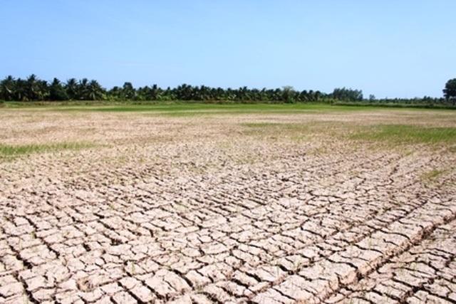 Mùa hạn, mặn năm 2016 làm hàng ngàn ha lúa ở huyện Ba Tri bị mất trắng
