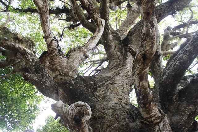 Thân cây có hình dáng rất kỳ lạ