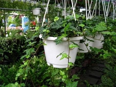 5 loại cây cảnh trồng trong nhà mang lại tài lộc và sức khỏe - 1