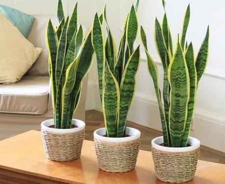 5 loại cây cảnh trồng trong nhà mang lại tài lộc và sức khỏe - 2