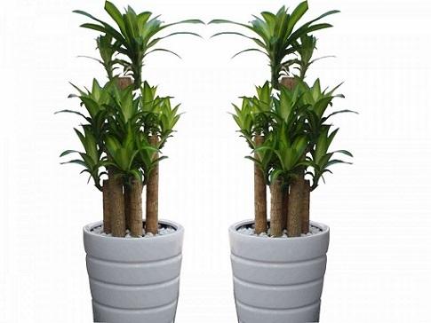 5 loại cây cảnh trồng trong nhà mang lại tài lộc và sức khỏe - 3