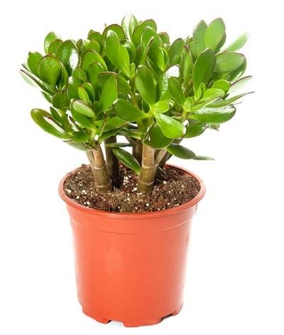 5 loại cây cảnh trồng trong nhà mang lại tài lộc và sức khỏe - 5