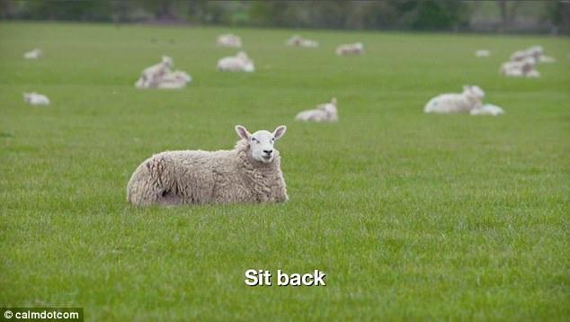 """""""Baa Baa Land"""" gồm toàn những cảnh quay chậm xoay quanh một đàn cừu thả trên cánh đồng. Trong phim không xuất hiện một diễn viên nào là… con người, không hề có lời thoại hay một kịch tính nào, dù là nhỏ nhất."""
