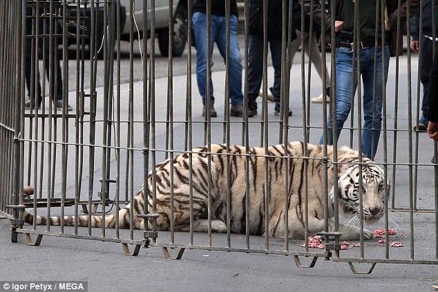 Sau khi bị dồn vào lối hẹp, chú hổ trắng được cho ăn.