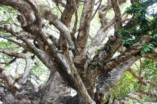 Thân cây có nhiều nhánh vươn rộng ra các hướng, thớ gỗ vặn xoắn rất lạ.