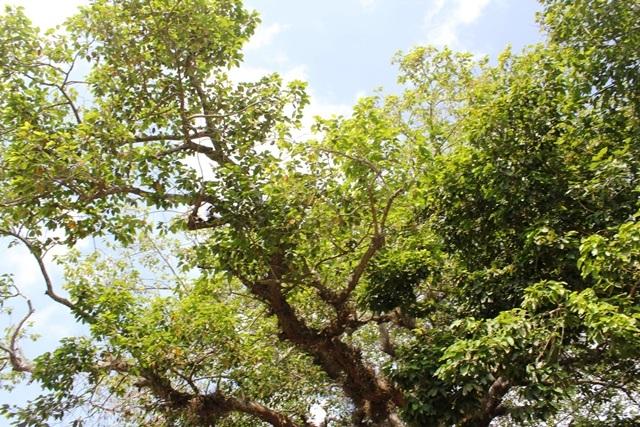 Lá cây xanh tốt, tán vươn rộng ra xung quanh.