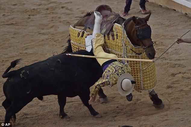 Một người đấu bò với kỵ mã và thanh giáo bị ngã ngựa.