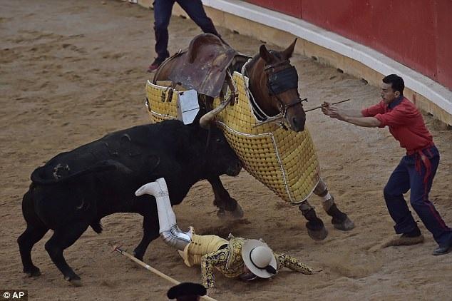 Điều may mắn cho người đấu bò này là con bò tót chỉ tập trung vào việc tấn công con ngựa.