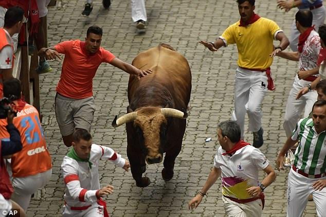 """Con bò màu nâu có tên """"Cuồng phong"""" là con dữ dằn nhất trong đàn bò, nó sớm tách đàn và chạy lên đầu."""