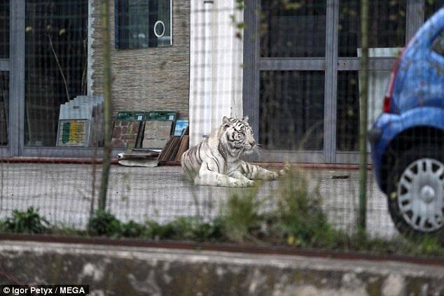 Rất may mắn chú hổ đã lựa chọn một bãi đậu xe vắng người để bình thản nằm nghỉ.