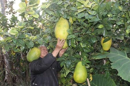 Ông Dương Quang Quế bên những trái chanh khổng lồ không hạt.