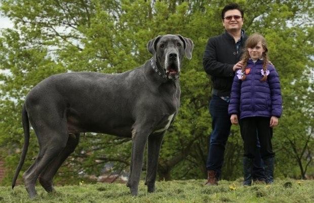 Chú chó Balthazar nặng đến 95kg