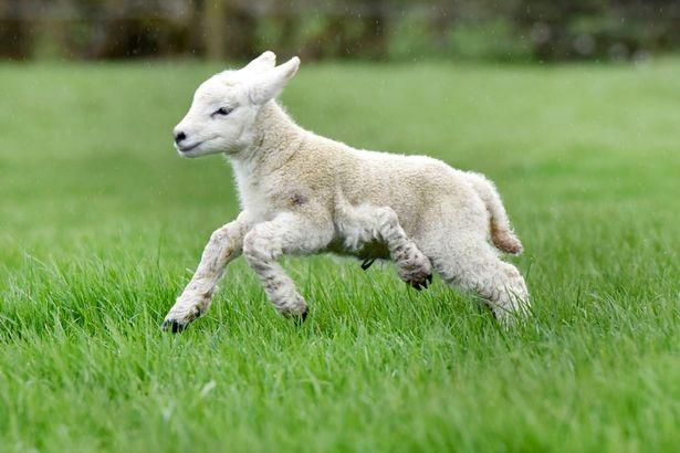 Chú cừu Forrest Gump chạy nhảy với cái chân thừa lủng lẳng ở bên