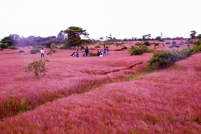 Những cánh đồng cỏ hồng dài vô tận trên những cánh rừng thông xã Glar. Ảnh: Phạm Hoàng