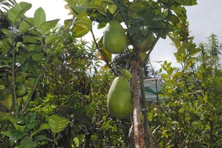 Cây chanh trong vườn nhà ông Sang cho quả khủng.