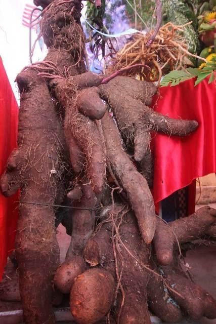 Củ khoai ngọt thơm dứa nặng 42kg
