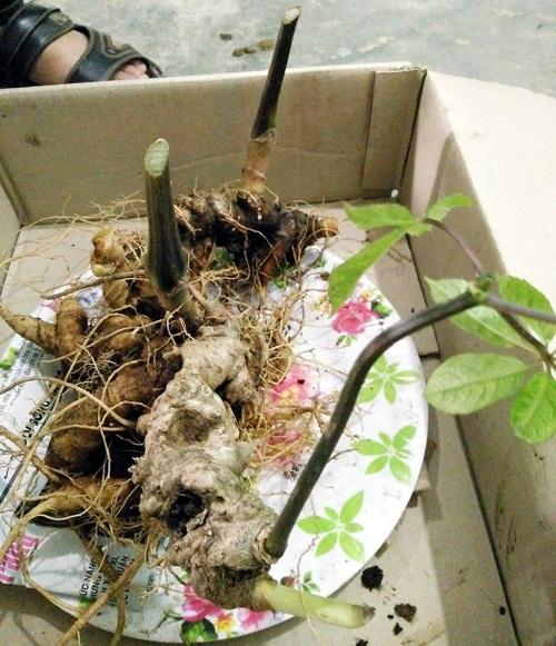 Củ sâm nặng hơn 7 lạng, có 4 nhánh, dài khoảng 30 cm