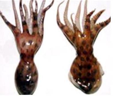 Một hình ảnh về bạch tuộc đốm xanh - rất giống với con bạch tuộc nghi cắn chết chị Tý (ảnh: Trung tâm Y tế huyện Phú Vang cung cấp)
