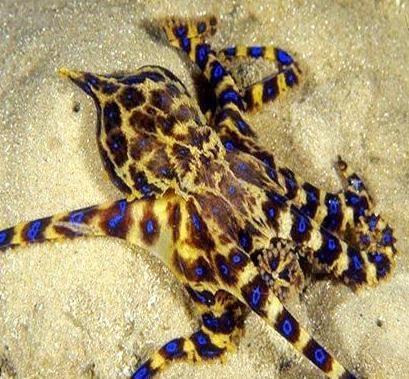 Nhiều loại bạch tuộc đốm xanh ở biển (ảnh: Trung tâm Y tế huyện Phú Vang cung cấp)