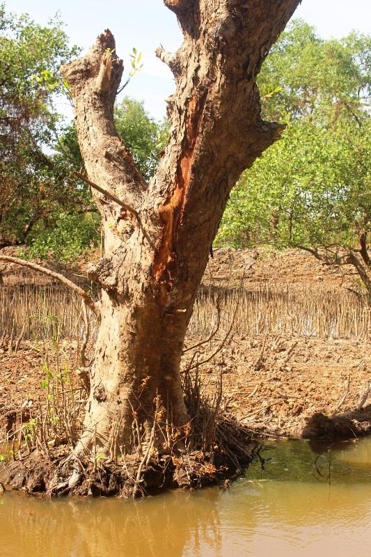 Nhiều cây bần bị đào bới tận gốc, đang đứng... chờ chết!