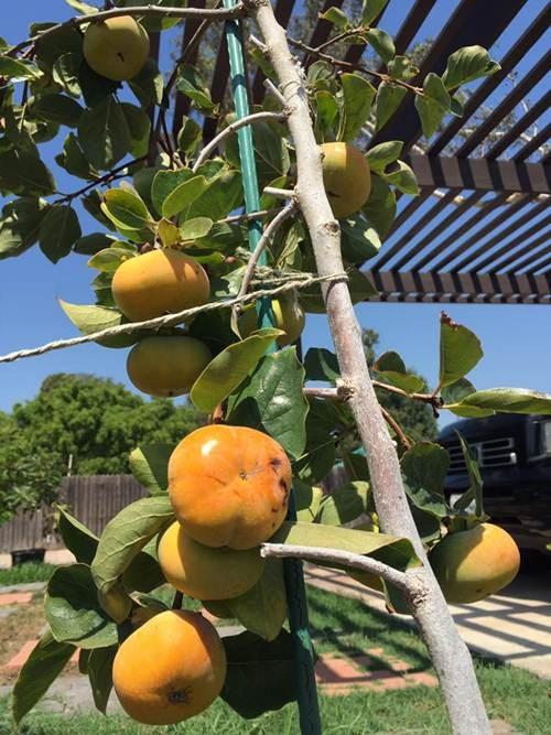 Khu vườn tiền tỷ lúc lỉu cây trái của Bằng Kiều trên đất Mỹ - 10