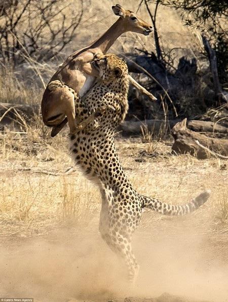 Tuy nhiên con báo cũng phản ứng kịp thời cắn chặt vào chân linh dương