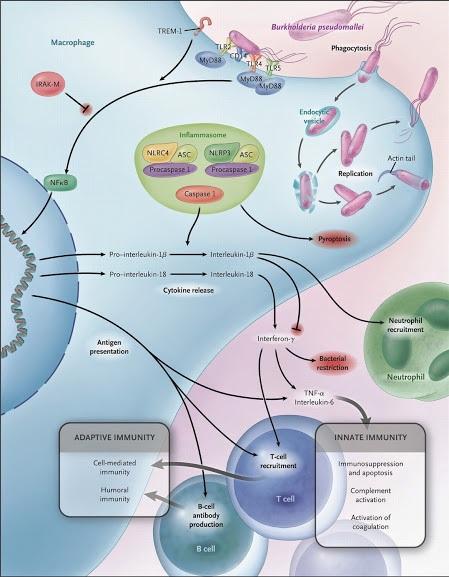 Bệnh sinh miễn dịch của melioidosis. B. pseudomallei cũng có thể gây cảm ứng, sự hình thành các tế bào phì đại đa nhân (nguồn: Bệnh viện Bệnh Nhiệt đới Trung ương)