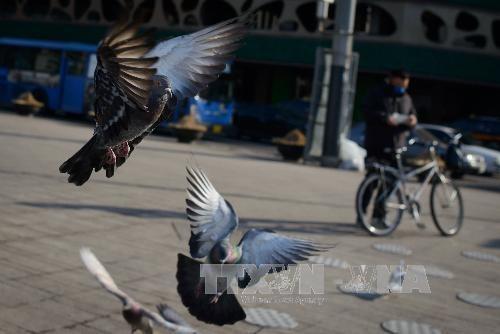 Chim bồ câu trên quảng trường thủ đô Seoul, Hàn Quốc. Ảnh: AFP/TTXVN.
