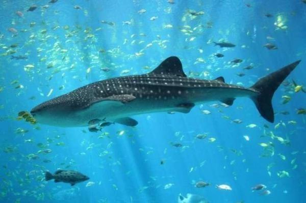 Thị trường lương thực toàn cầu tiếp tục đe dọa các loài cá mập và cá đuối - 1