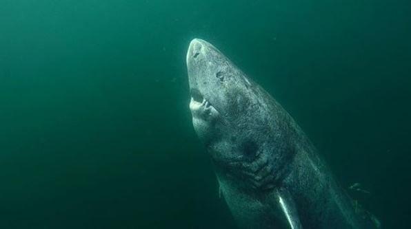Đây là con cá mập già nhất trong số 28 con cá mập Greeland đã được phân tích.