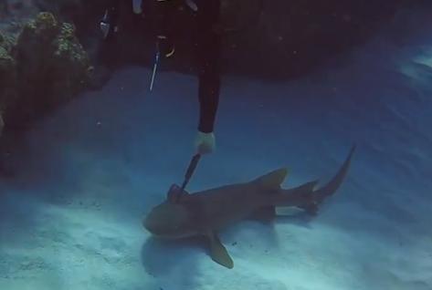 Cá mập bị dao dài 30 cm cắm xuyên đầu cầu cứu thợ lặn - 1