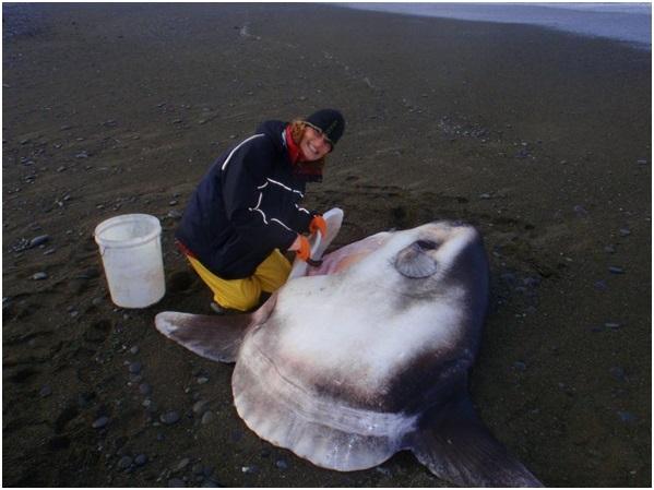 Marianne Nyegaard chụp ảnh cùng cá mặt trăng Hoodwinker dạt bờ New Zealand năm 2014.