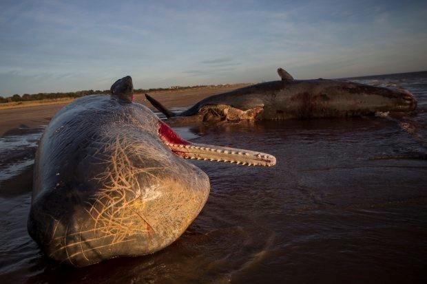 Hai trong số ba con cá nhà táng được phát hiện bị dạt vào bờ biển ở gần Skegness.