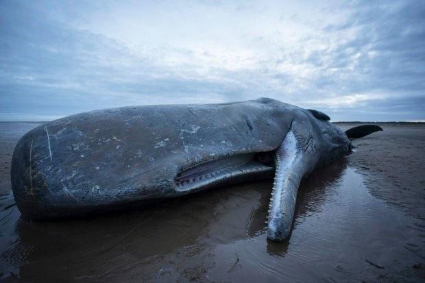 Một con cá nhà táng bị chết trên bờ biển Hunstanton ở Norfolk, phía đông nước Anh ngày 5/2/2016.
