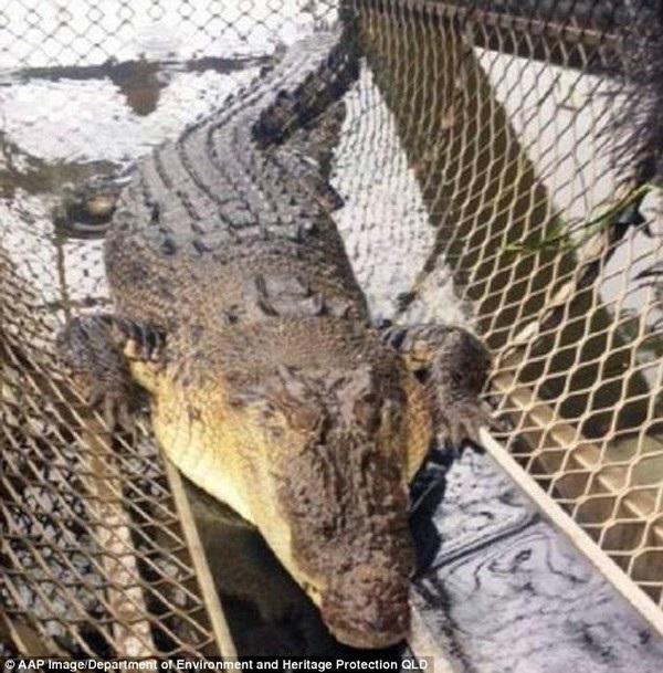 Con cá sấu bị bắt giữ và sẽ được chuyển đến một trang trại nuôi cá sấu hoặc một vườn thú