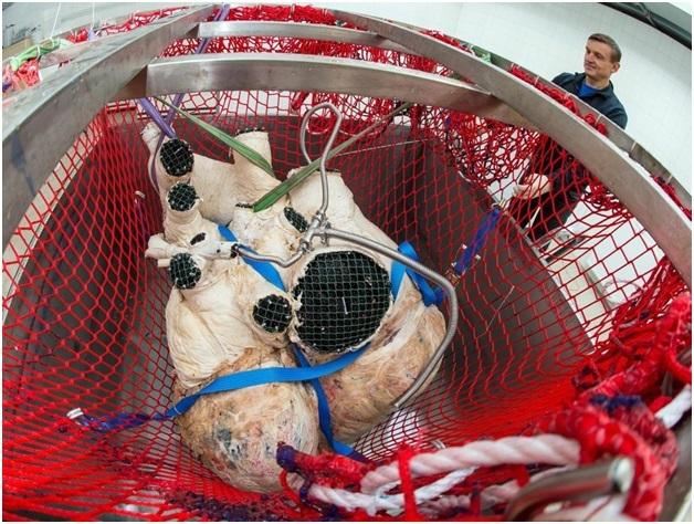 Trái tim được lấy khỏi cơ thể của con cá, và sau đó được bảo quản bằng kỹ thuật plastination – một loại kỹ thuật thay thế nước và chất béo trong mẫu vật bằng nhựa dẻo.