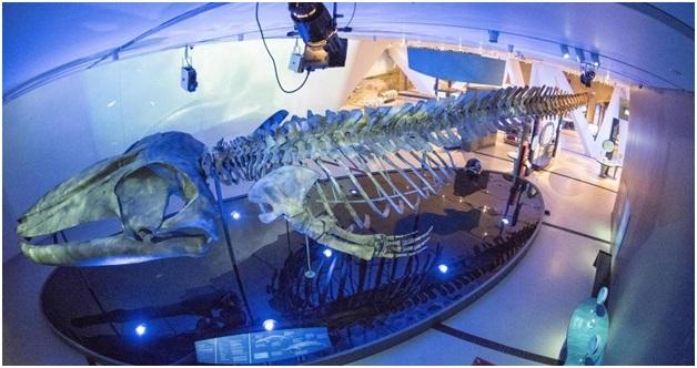Khung xương của con cá voi – giúp cảm nhận về kích thước khổng lồ của nó.