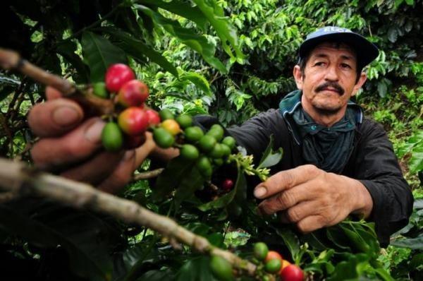 Hiện tượng nóng lên toàn cầu tác động lớn đến sản lượng cà phê - 1