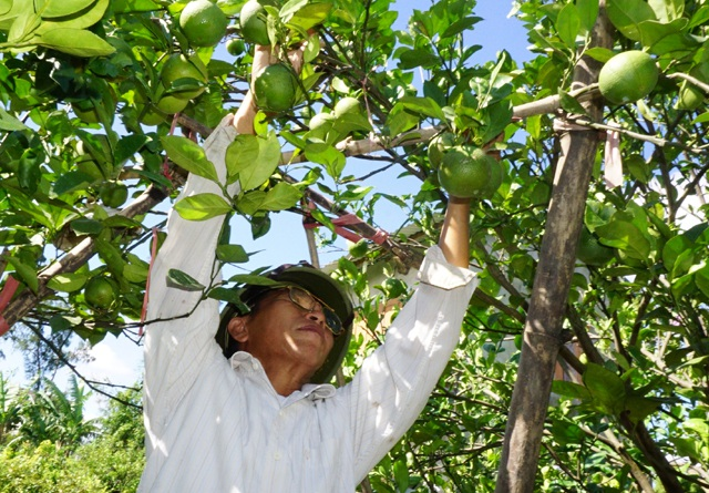 Bên cạnh đó, cây cam được chăm sóc với chế độ đặc biệt bằng các loại phân bón lá, cung cấp dưỡng chất cho quả