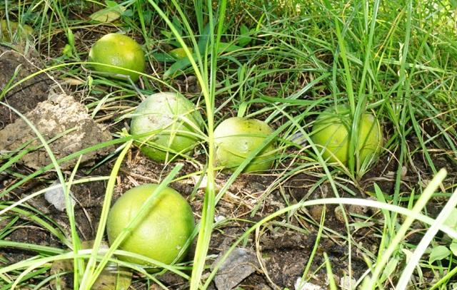Với giá trung bình 50 nghìn đồng/quả, đợt mưa lũ này đã gây thiệt hại khá nặng nề cho người trồng loại cam đặc sản này ở Nghệ An khi nhiều khu vườn rụng 1/3 sản lượng quả