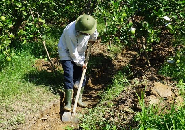 Người dân phải đào hào thoát nước, xử lý những rễ thối để không ảnh hưởng đến cây cũng như số quả còn lại