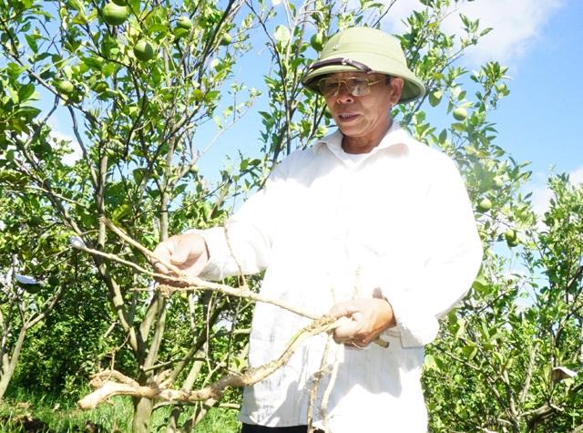 Nguyên nhân chính được xác định là mưa nhiều, vườn bị ngập nước gây thối rễ cam khiến cây không thể hút chất dinh dưỡng nuôi quả